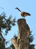 Goose in a tree.jpg