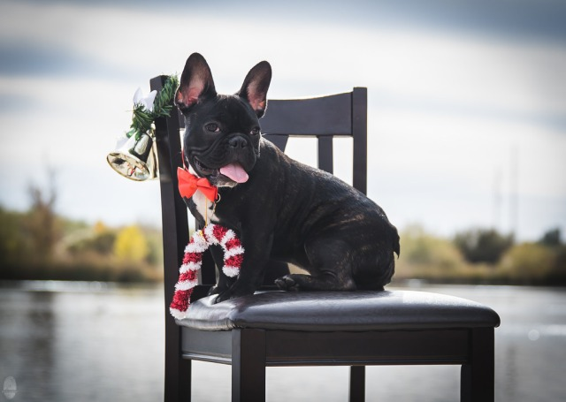 French bulldog with red bow, candy cane, christmas bell